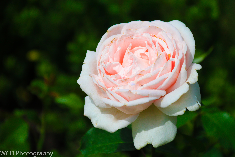 Bern Rose Garden Wcd Photography